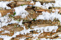 Bark of pine tree covered with snow texture. Royalty Free Stock Photo