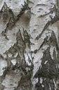 Bark of Silver Birch Betula pendula trees Royalty Free Stock Photo