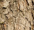 Bark of spruce tree