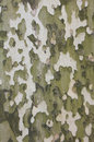 Bark of sycamore tree, natural camouflage pattern