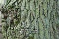 Bark texture folds and roughness of the of trees of old at the sight of mapperley castle Royalty Free Stock Photo