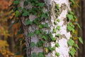 Bark texture with ivy leaves Royalty Free Stock Photo
