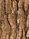 Bark of a tree an oak Stock Photo