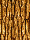 Bark of a tree an oak Royalty Free Stock Image