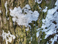 Bark of a tree with snow falling on him Stock Photos