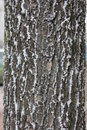 texture of tree bark in inie Royalty Free Stock Photo