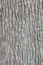 Bark of tree texture Royalty Free Stock Photo
