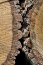 Bark of trees cut closeup on the Royalty Free Stock Photography