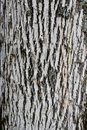 White ash bark with emerald Royalty Free Stock Photo