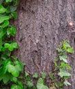 Bark wood ivy tree and green Stock Photo