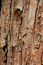 Bark wood texture of dawn redwood coniferous tree Metasequoia glyptostroboides, native to Lichuan county, Hubei, China Royalty Free Stock Photo