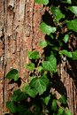 Bark wood texture of dawn redwood Metasequoia glyptostroboides with climbing plant common ivy Hedera Helix climbing on trunk surfa Royalty Free Stock Photo