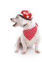 Barking biker dog pet wearing a motocycle helmet and bandana white background Royalty Free Stock Photos