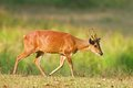 Barking deer Royalty Free Stock Photo