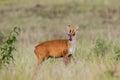 Barking deer muntjacs or mastreani deer stair at us in nature at khaoyai national park thailand Royalty Free Stock Image