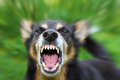 Barking dog Stock Images