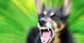 Barking dog enraged shepherd outdoors over blurred green background Royalty Free Stock Image