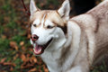 Barking dog woofing husky closeup muzzle and Royalty Free Stock Images