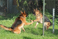 Barking german shepherds behind the fence Stock Photo