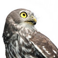 Barking Owl Isolated Royalty Free Stock Images