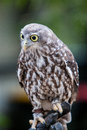 Barking owl a looks at it s surroundings in victoria australia Stock Photography