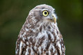 Barking owl a looks at it s surroundings in victoria australia Royalty Free Stock Photo