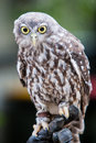 Barking owl a looks at it s surroundings in victoria australia Stock Image
