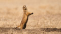 Barking Prairie Dog Royalty Free Stock Photo