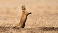 Photo : Barking Prairie Dog ancient