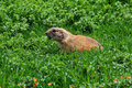 Barking prairie dog making a sound rodent animal among grass Stock Images