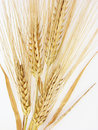 Barley Royalty Free Stock Photo
