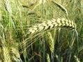 Barley 2 Royalty Free Stock Photo