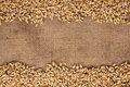 Barley is on burlap Royalty Free Stock Photo