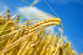 Barley a closeup with a blue sky Royalty Free Stock Image