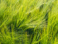 Barley ear with awns on a field Stock Photography