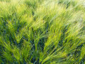 Barley ear with awns on a field Royalty Free Stock Photos