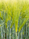 Barley ear with awns on a field Royalty Free Stock Images