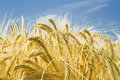 Barley ears ground view Royalty Free Stock Photo