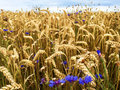 Barley Field with blue cornflowers Royalty Free Stock Photo