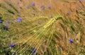 Barley field and cornflowers Royalty Free Stock Photo