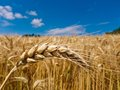 Barley in a field ears of of grain farmer summer Stock Photography