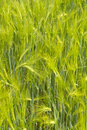 Barley field green in germany Royalty Free Stock Images