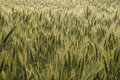 Barley field on a one early morning Royalty Free Stock Photography