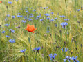 Barley field with wildflowers cornflowers and corn poppy Stock Photography