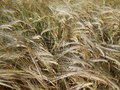 Barley field in the wind Royalty Free Stock Photo
