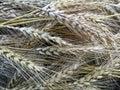 Barley Heads Royalty Free Stock Photo