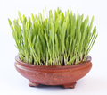 Barley hordeum vulgare in flat flowerpot Stock Photo