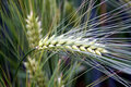 Barley spike macro Royalty Free Stock Photo