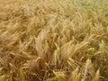 Barleycorn field a barley corn in germany europe Royalty Free Stock Photo