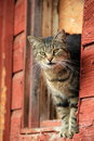 Barn cat Royalty Free Stock Photo